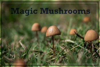 Magic mushrooms that contain psilocybin