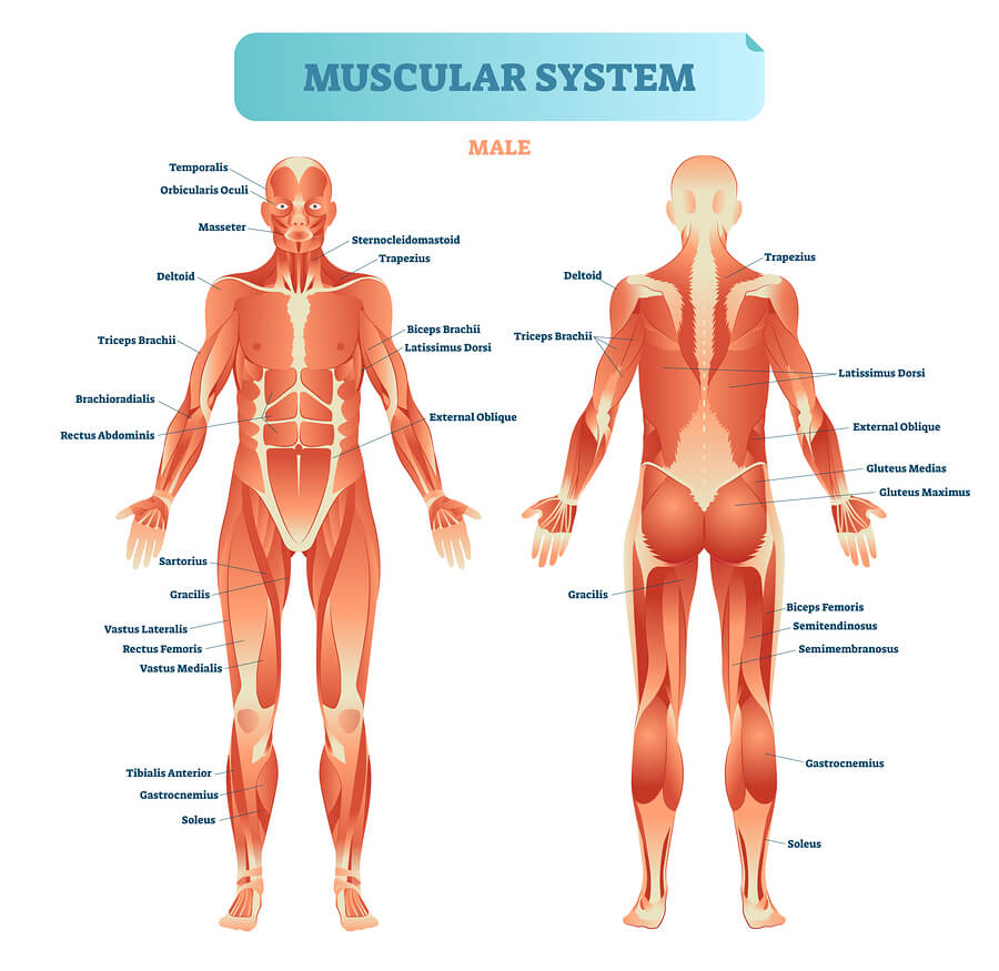 Male muscular system, full anatomical body diagram with muscle scheme