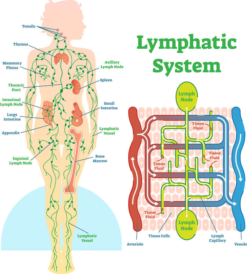 Lymphatic system anatomical vector illustration diagram